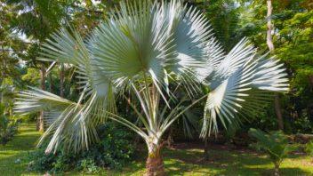 palma-trachycarpus-fortunei-352x198.jpg
