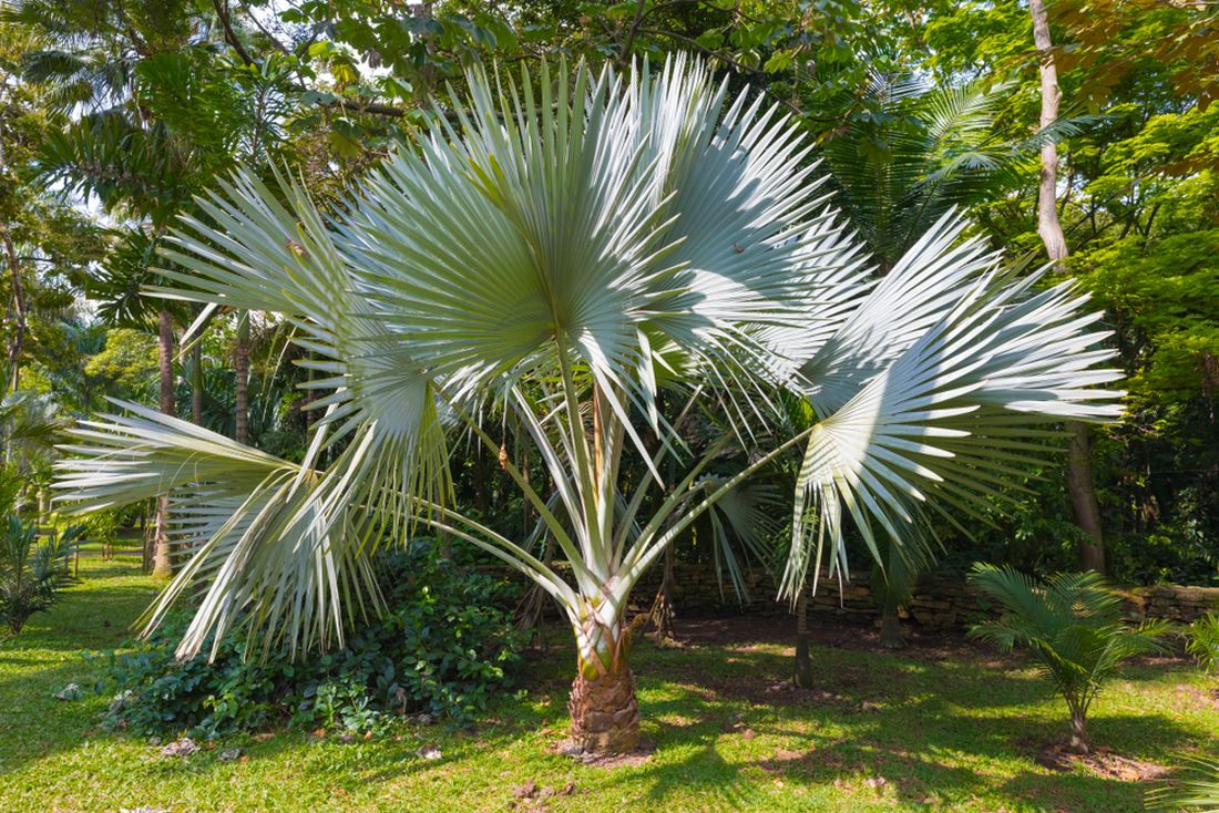 palma, trachycarpus fortunei