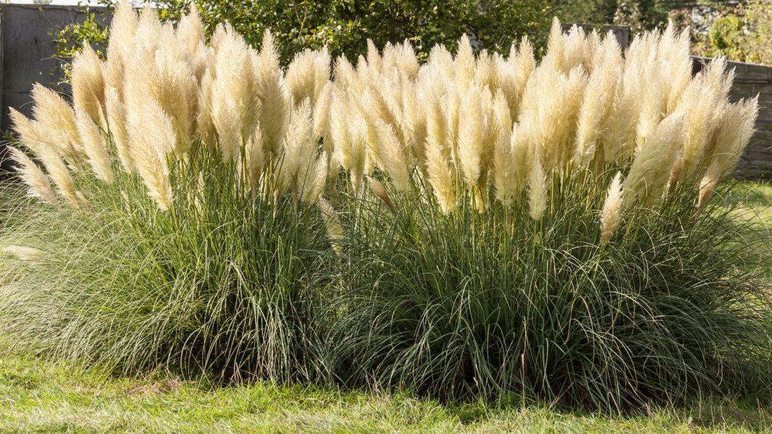 pampas-dvoudomy-cortaderia-selloana-1100x618.jpg
