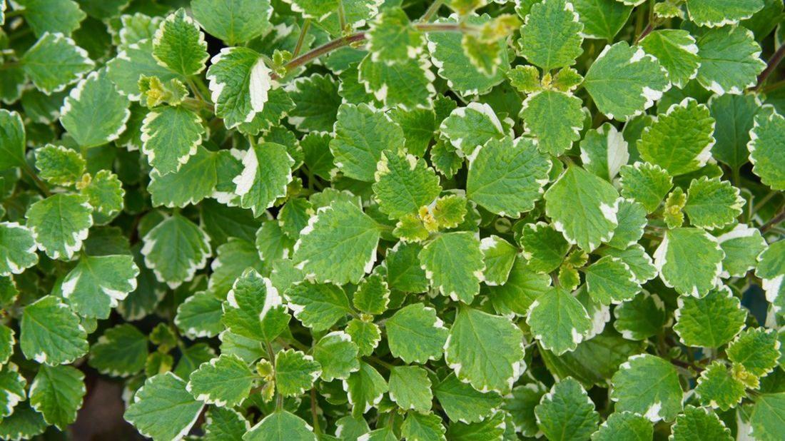 plectranthus-fruticosus-molice-1100x618.jpg