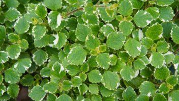 plectranthus-fruticosus-molice-352x198.jpg