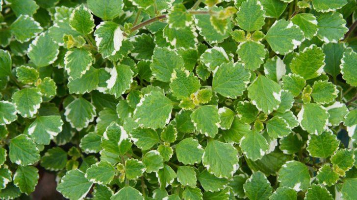 plectranthus-fruticosus-molice-728x409.jpg