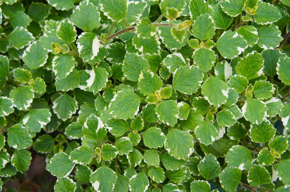 Plectranthus fruticosus, molice