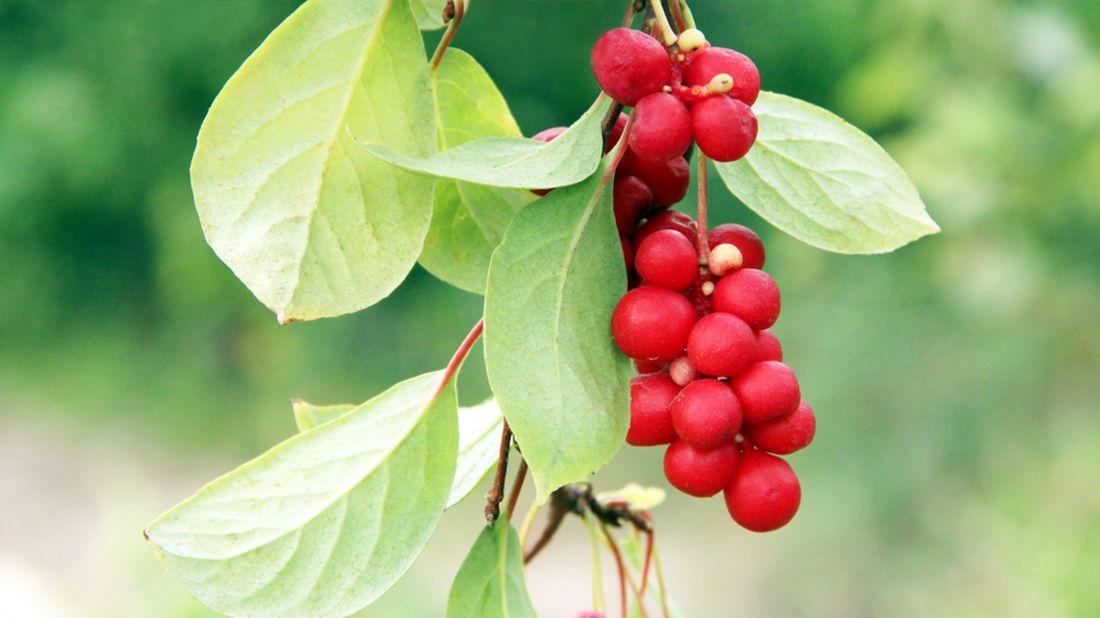 schizandra-chinensis-klanopraska-cinska.jpg