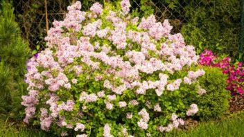 syringa-microphylla-superba-352x198.jpg