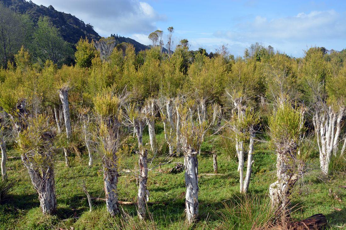 tea-tree-plantaz-na-novem-zelande.jpg
