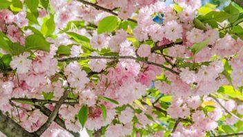 tresen-japonska-prunus-serrulata-352x198.jpg