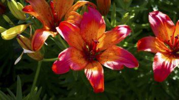 tygri-lilie-tiger-lily-352x198.jpg