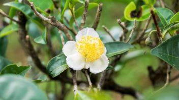 camellia-sinensis-cajovnik-cinsky-352x198.jpg