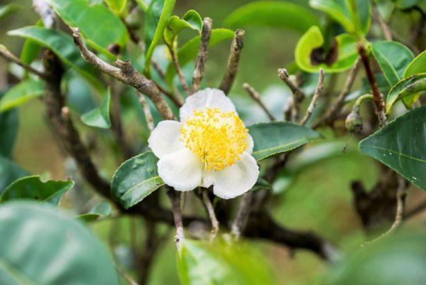 camellia-sinensis-cajovnik-cinsky-614x410.jpg