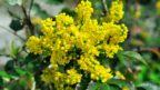 mahonie-cesminolista-–-kvety-144x81.jpg