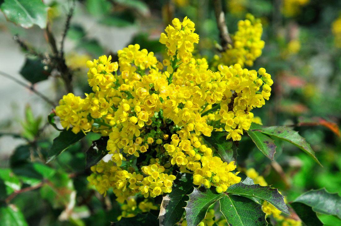 mahonie-cesminolista-–-kvety.jpg