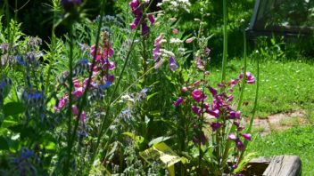 naprstnik-pusobi-hezkym-prirodnim-dojmem-a-skvele-si-sedne-i-s-jinymi-rostlinami-352x198.jpg