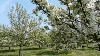 ovocny-sad-najde-uplatneni-hlavne-na-vetsim-pozemku-i-v-mestske-zahrade-se-ale-najde-misto-pro-nekolik-ovocnych-drevin-352x198.jpg