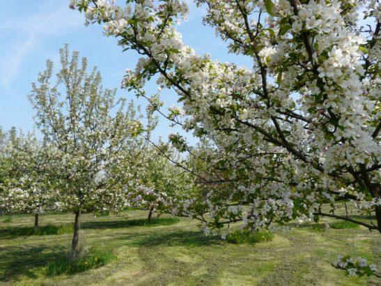 ovocny-sad-najde-uplatneni-hlavne-na-vetsim-pozemku-i-v-mestske-zahrade-se-ale-najde-misto-pro-nekolik-ovocnych-drevin-547x410.jpg