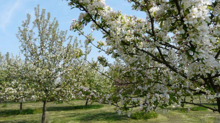 ovocny-sad-najde-uplatneni-hlavne-na-vetsim-pozemku-i-v-mestske-zahrade-se-ale-najde-misto-pro-nekolik-ovocnych-drevin-728x409.jpg