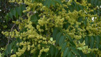 pajasan-zlaznaty-–-kvety-a-listy-352x198.jpg