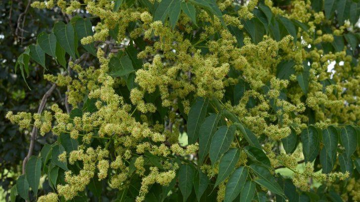 pajasan-zlaznaty-–-kvety-a-listy-728x409.jpg