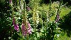 pokud-hledate-idealni-rostlinu-do-lesniho-podrostu-pak-naprstnik-urcite-vyzkousejte-144x81.jpg