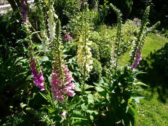 pokud-hledate-idealni-rostlinu-do-lesniho-podrostu-pak-naprstnik-urcite-vyzkousejte-547x410.jpg