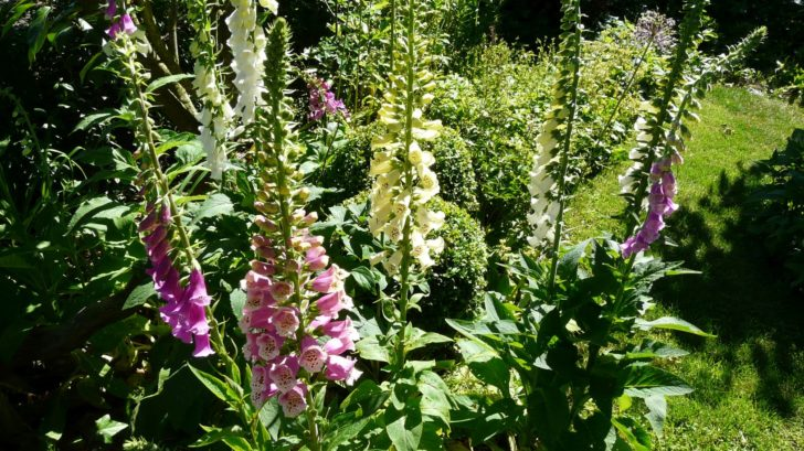 pokud-hledate-idealni-rostlinu-do-lesniho-podrostu-pak-naprstnik-urcite-vyzkousejte-728x409.jpg