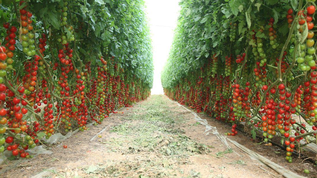 rajcata-pestovana-na-plantazich-dosahuji-nekolikametrove-vysky-casto-se-pestuji-take-v-hydroponii-ve-sklenicich.jpg