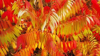 skumpa-orobincova-–-podzimni-zbarveni-352x198.jpg