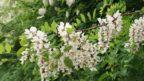 trnovnik-akat-–-kvety-144x81.jpg