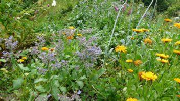 v-permakulturni-zahrade-slovo-plevel-pomalu-ani-nezname-rostliny-jsou-sazeny-huste-a-kdyz-se-nejaky-plevel-objevi-vetsinou-nepredsatvuje-velky-problem-352x198.jpg