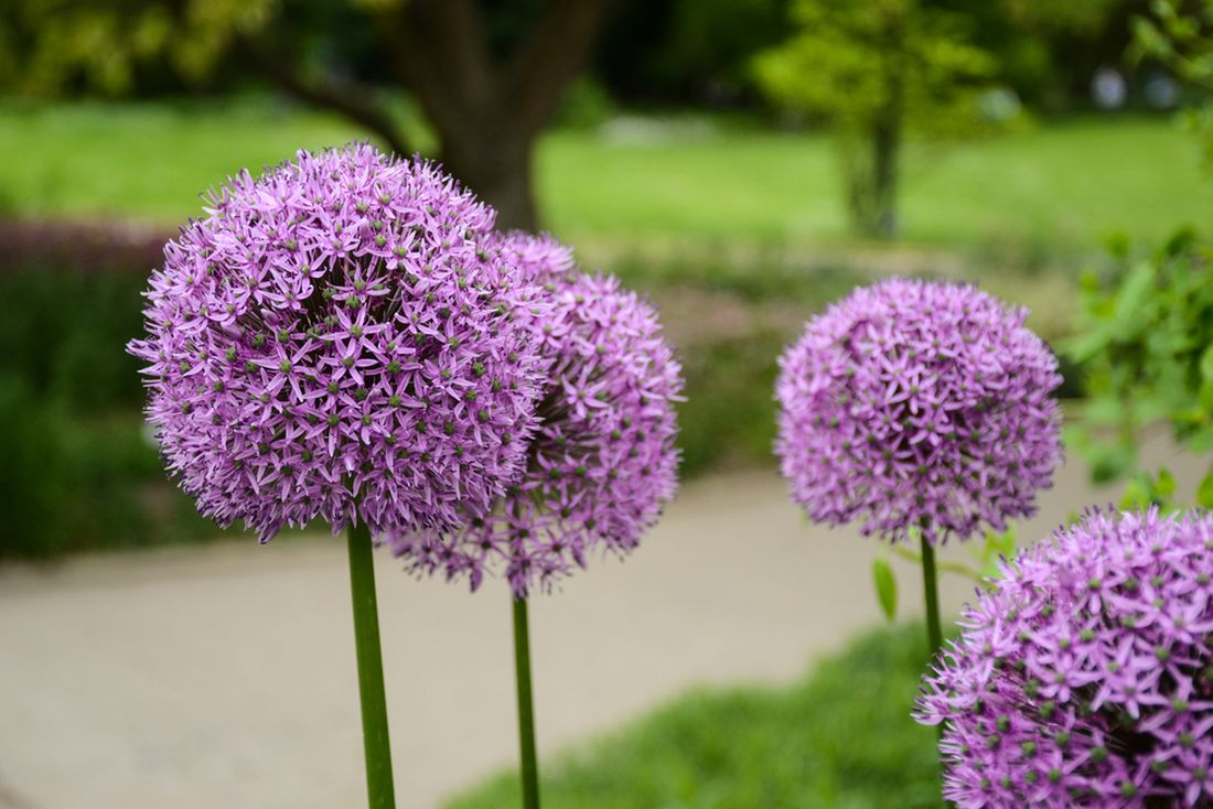 allium-cristophii-star-of-persia.jpg