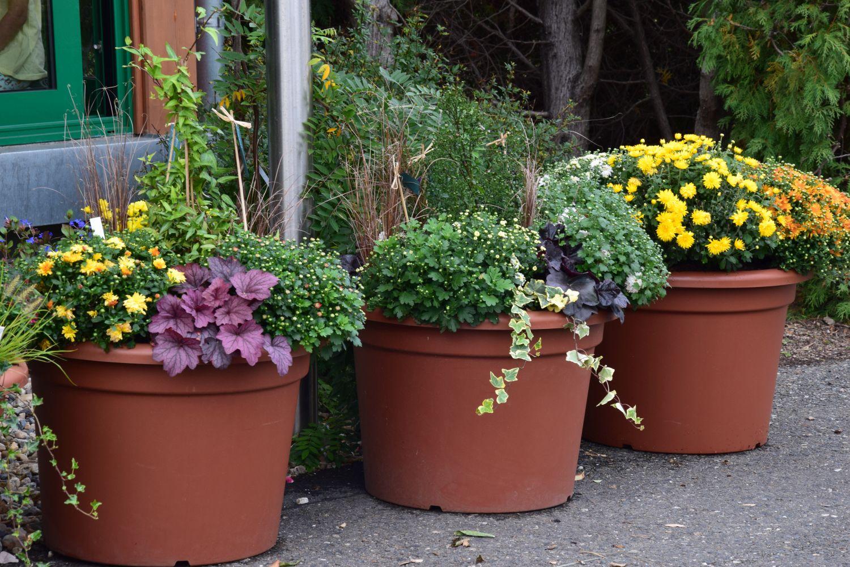 chryzantemy-se-budou-skvele-doplnovat-i-s-rostlinami-s-okrasnym-olistenim.jpg