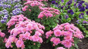gigi-pink-se-perfektne-hodi-i-pro-zahonove-vysadby-352x198.jpg