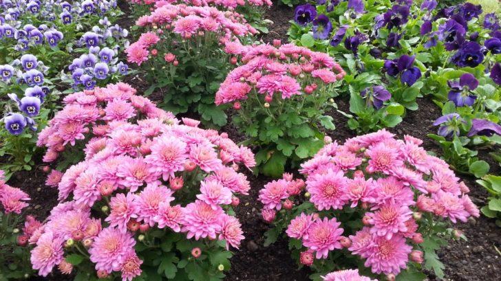 gigi-pink-se-perfektne-hodi-i-pro-zahonove-vysadby-728x409.jpg