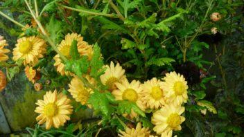 hrnkovane-rostliny-lze-vysadit-na-zahradu.-pokud-preziji-mohou-zde-rust-i-nekolik-let-352x198.jpg