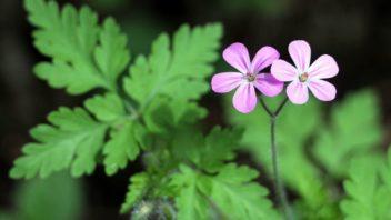 kakost-smrduty-chrani-svuj-pyl-pred-destem-sklopenim-kvetu-352x198.jpg