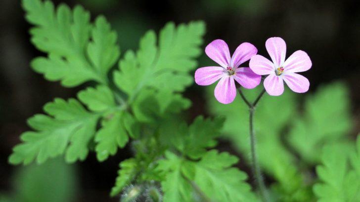 kakost-smrduty-chrani-svuj-pyl-pred-destem-sklopenim-kvetu-728x409.jpg