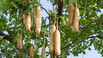 kigelie-africka-dostala-lidove-oznaceni-klobasovy-strom-nebot-jeji-plody-opravdu-pripominaji-klobasy-352x198.jpg