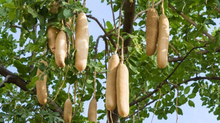 kigelie-africka-dostala-lidove-oznaceni-klobasovy-strom-nebot-jeji-plody-opravdu-pripominaji-klobasy-728x409.jpg