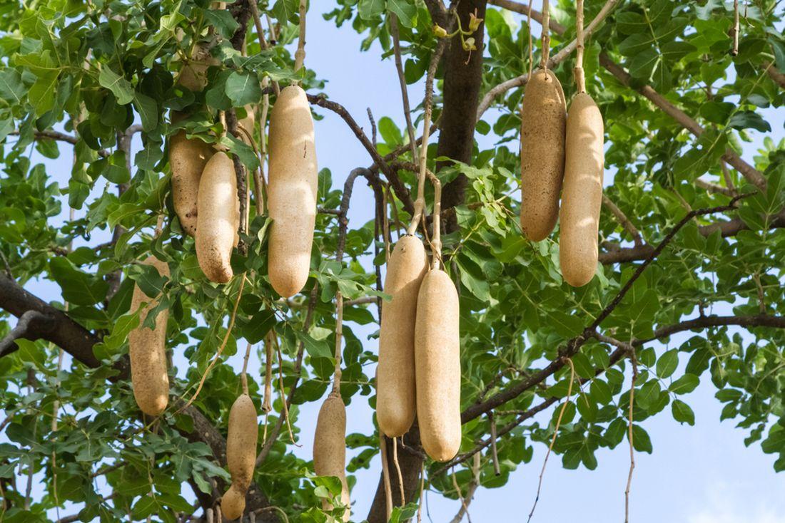 kigelie-africka-dostala-lidove-oznaceni-klobasovy-strom-nebot-jeji-plody-opravdu-pripominaji-klobasy.jpg