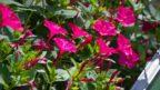 nocenka-jalapenska-–-otevira-sve-kvety-az-ve-ctyri-hodiny-odpoledne-a-kvete-celou-noc-144x81.jpg