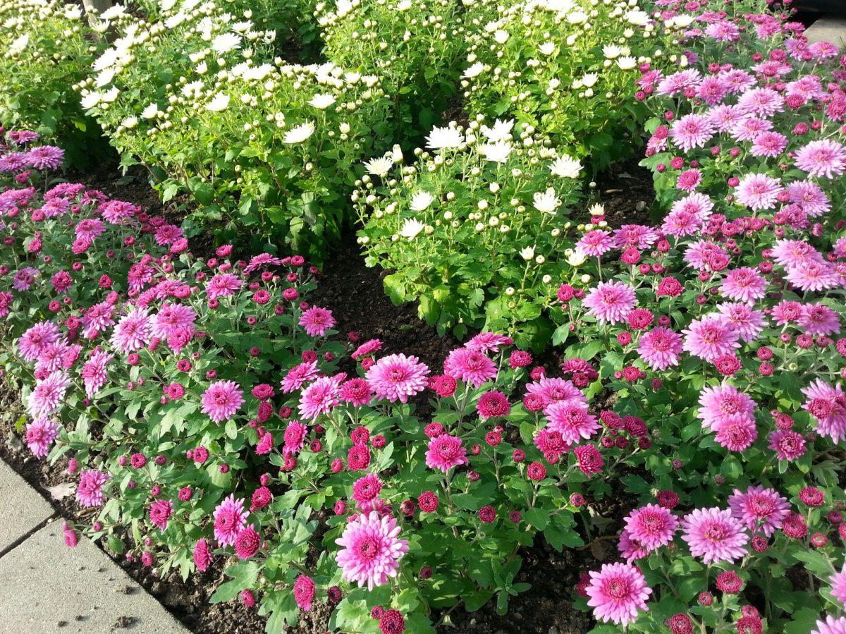 odrudy-chryzantem-jacqueline-white-a-jaqueline-pink-1200x1200.jpg