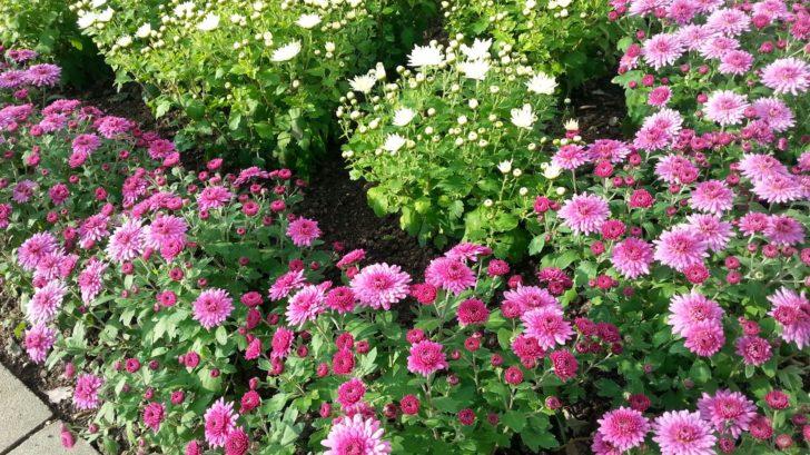 odrudy-chryzantem-jacqueline-white-a-jaqueline-pink-728x409.jpg
