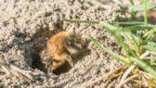 piskorypka-rodu-andrena-144x81.jpg