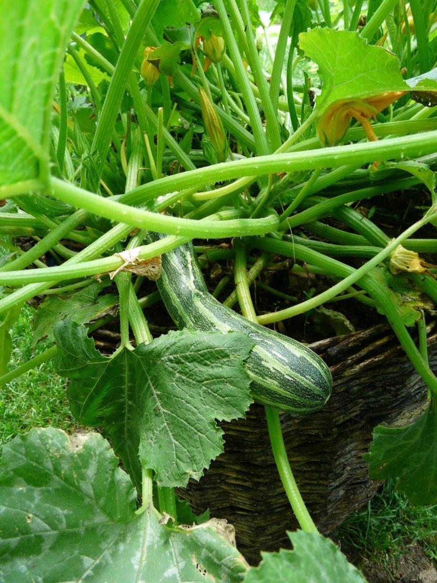 pokud-mate-malou-zahradu-lze-nektere-odrudy-pestovat-i-v-nadobach-na-terase-1200x1200.jpg