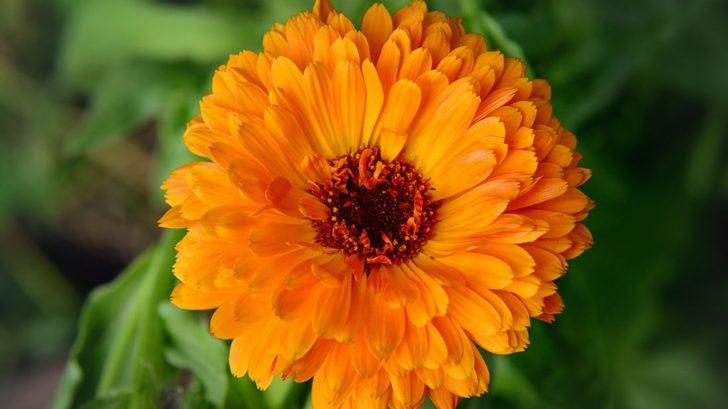 pokud-se-otevrou-kvety-mesicku-lekarskeho-pozdeji-nez-mezi-sestou-a-sedmou-hodinou-ranni-bude-ten-den-prset-728x409.jpg