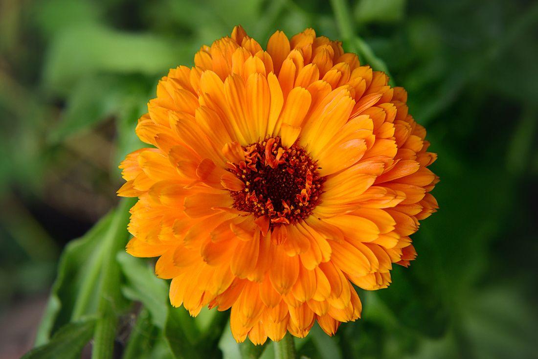pokud-se-otevrou-kvety-mesicku-lekarskeho-pozdeji-nez-mezi-sestou-a-sedmou-hodinou-ranni-bude-ten-den-prset.jpg