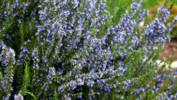 rozmaryn-je-i-okrasna-rostlina-352x198.jpg