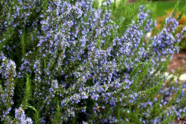 rozmaryn-je-i-okrasna-rostlina-614x410.jpg