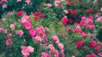 ruze-jsou-vzdy-ozdobou-zahrady-144x81.jpg