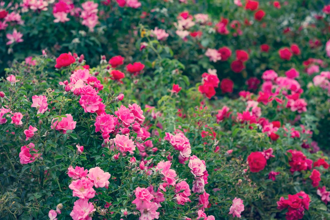 ruze-jsou-vzdy-ozdobou-zahrady.jpg